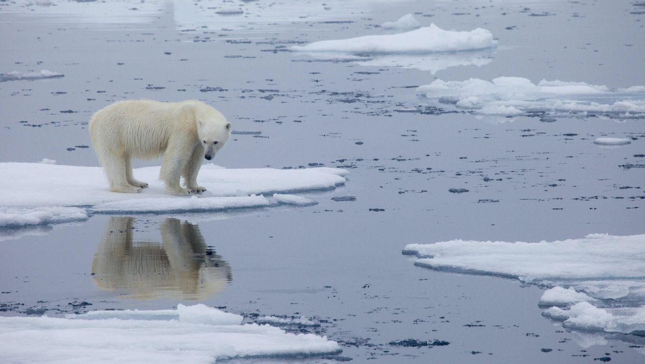 Eisbären sind möglicherweise bereits um 2100 ausgestorben
