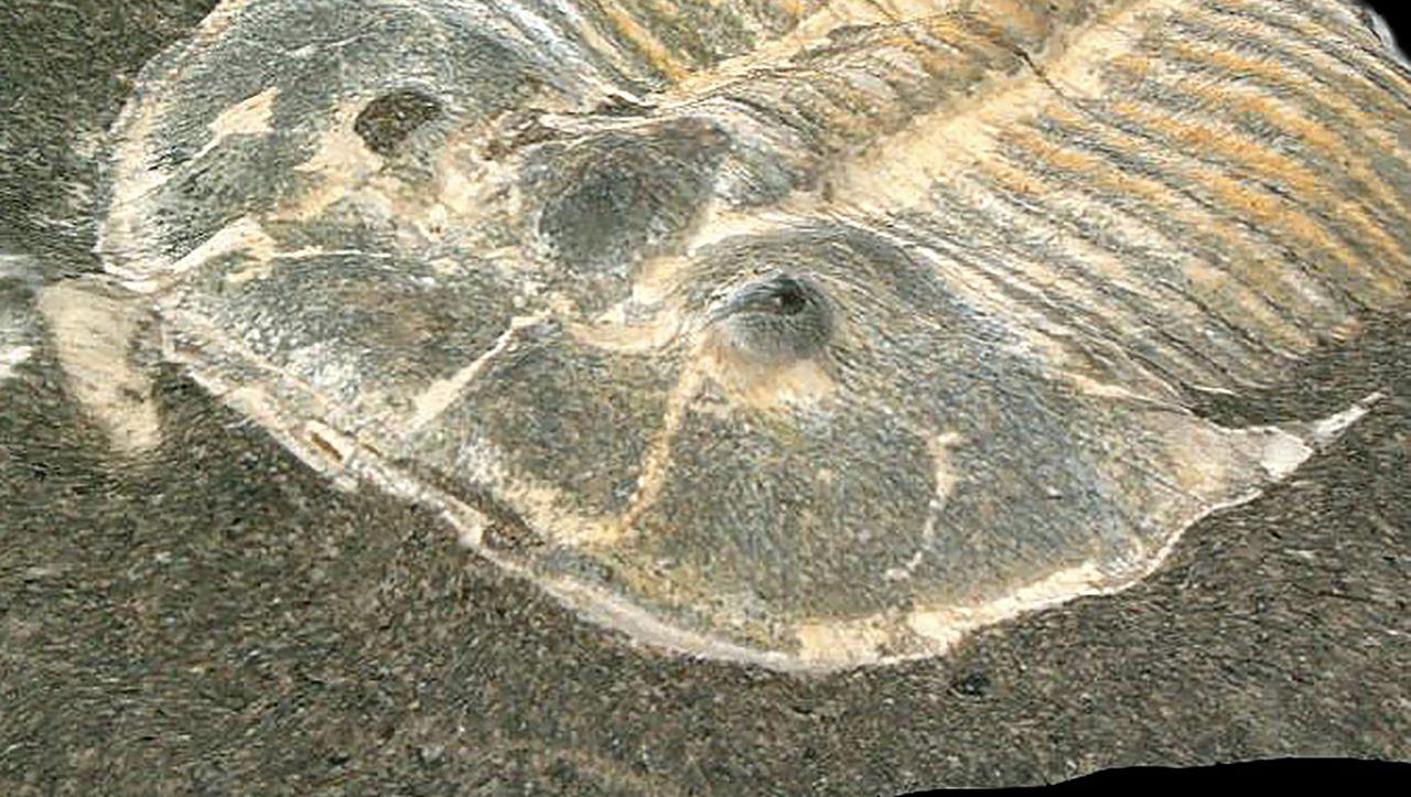 Das 429 Millionen Jahre alte Fossil mit einer Anzeige von 200 Pixeln