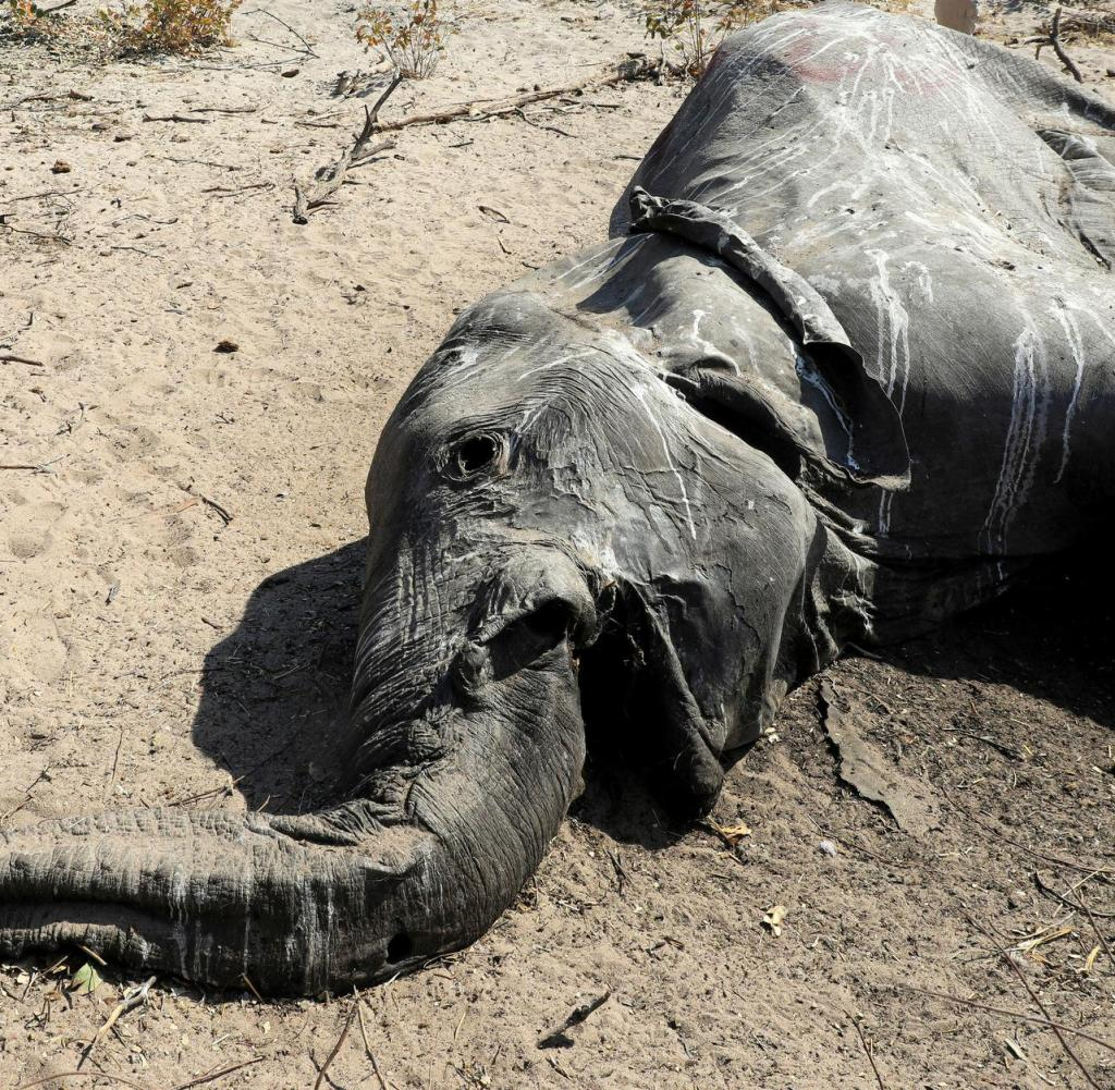 Ein Tierarzt untersucht den Kadaver eines toten Elefanten in der Nähe von Seronga im Okavango-Delta in Botswana