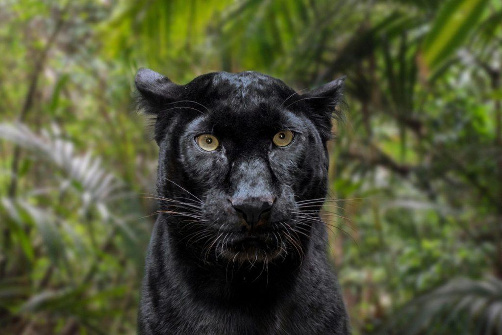Fotograf entdeckt seltenen schwarzen Leoparden auf Safari in Indien