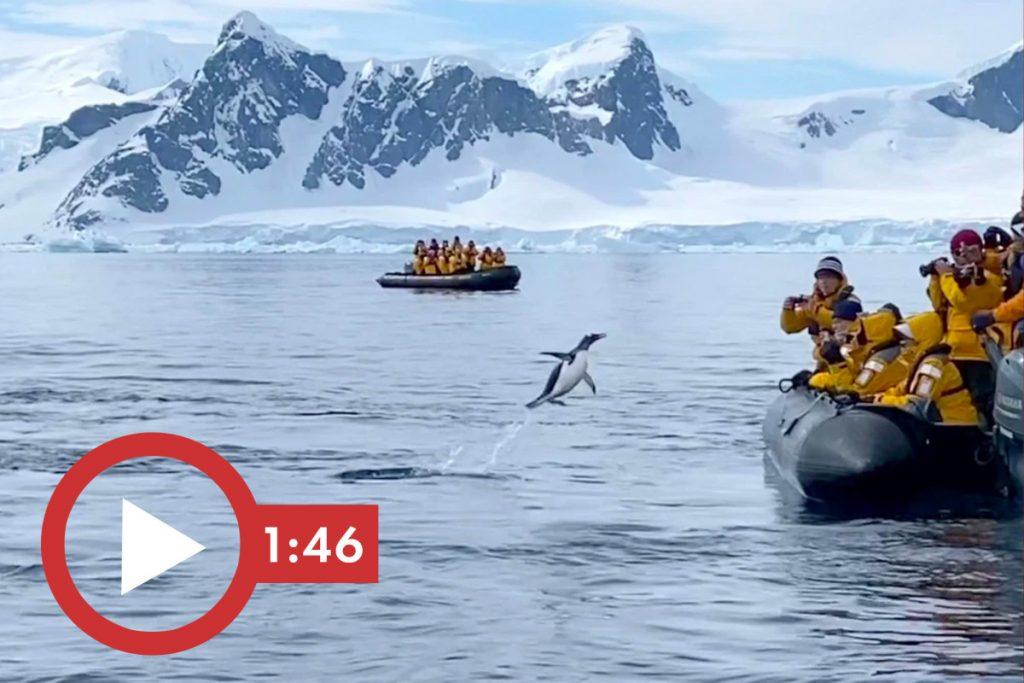 Heroischer Pinguin entkommt Killerwalen in einem Video, in dem Nägel beißen