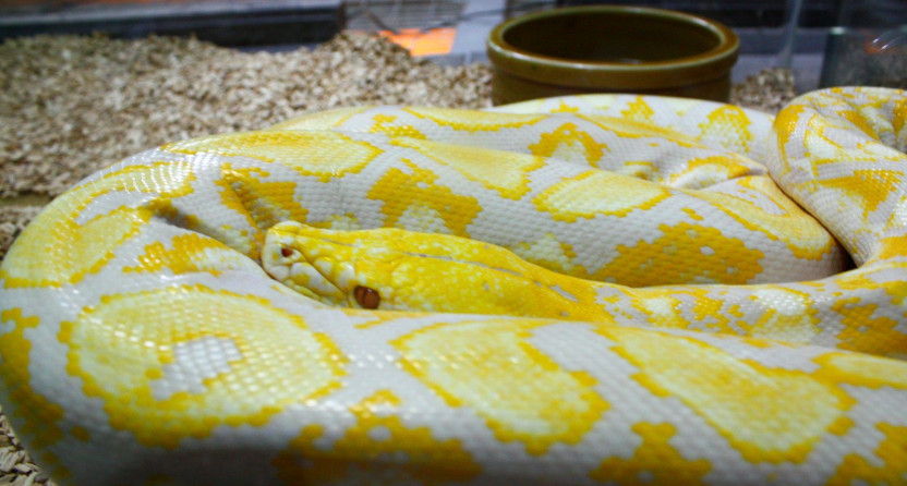 A reticulated python.