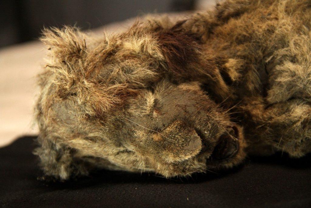 28.000 Jahre alter Höhlenlöwe in einwandfreiem Zustand gefunden