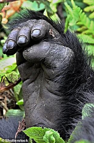 Die Füße unserer nächsten Verwandten (der anderen Menschenaffen) ähneln eher einer menschlichen Hand, mit einem daumenförmigen Hallux, der seitlich herausragt.  Auf dem Foto ein Gorillafuß